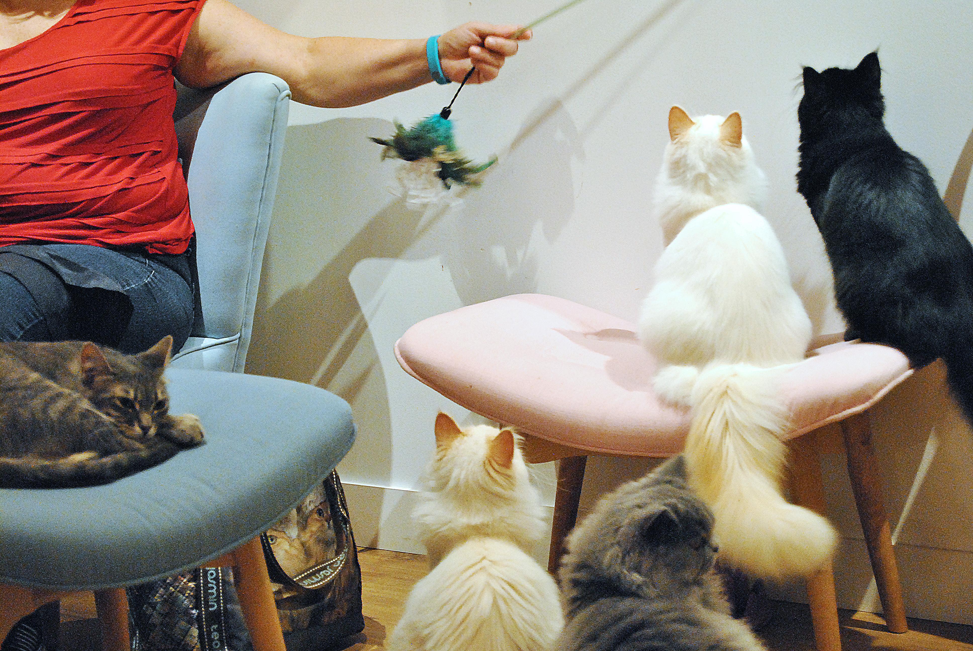 bar a chats chapristea bonnes adresses toulouse le petit monde d'elodie