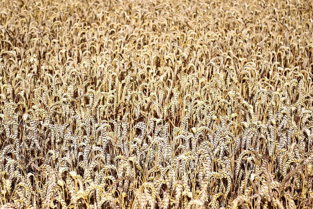 combishort lenny b made in france dans les champs de blé en bretagne le petit monde d'elodie